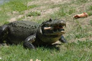 gator lunch